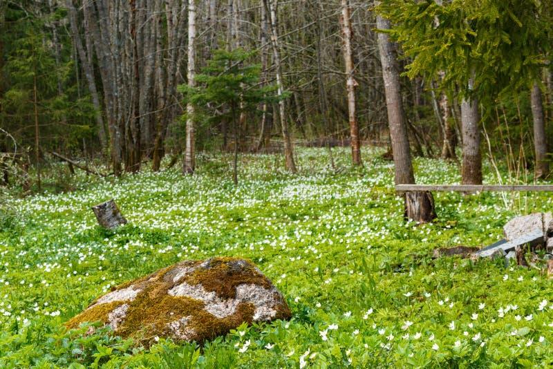 Le printemps est le moment pour cette belle fleur Anémone de perce-neige pré et grande pierre images stock