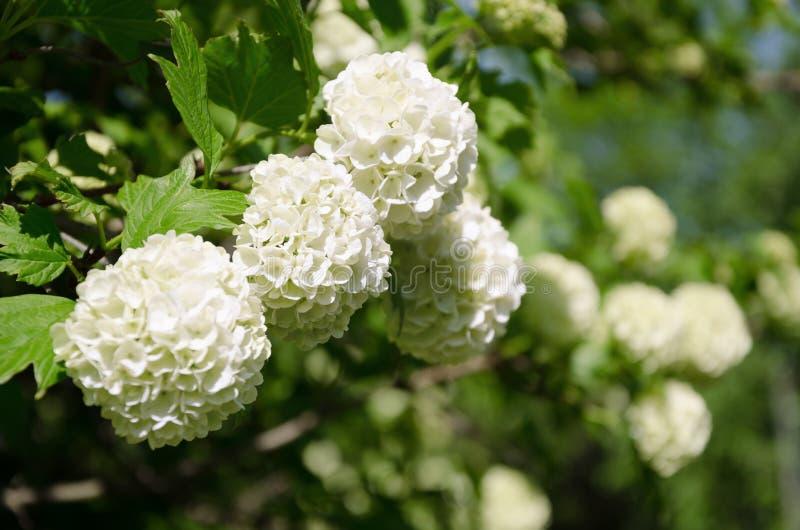 Le printemps Guelder a monté, les fleurs blanches d'opulus de Viburnum dans une forme de boule de neige image libre de droits