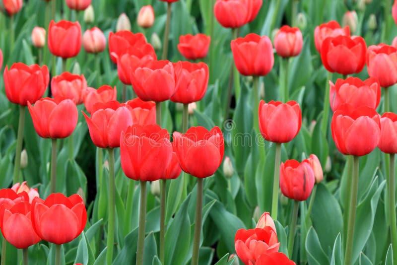 Le printemps rouge a ouvert et pas a ouvert des tulipes photos stock