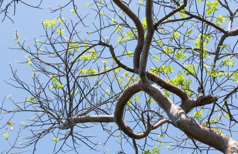 Le printemps se reflétant d'arbre fictif de gombo à Key West photographie stock libre de droits