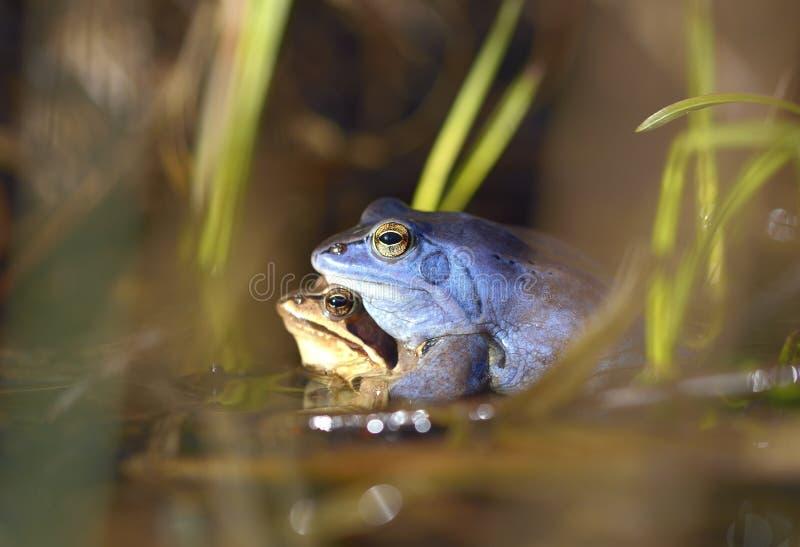 Le processus de l'élevage amarrent la grenouille, arvalis de Rana photo stock
