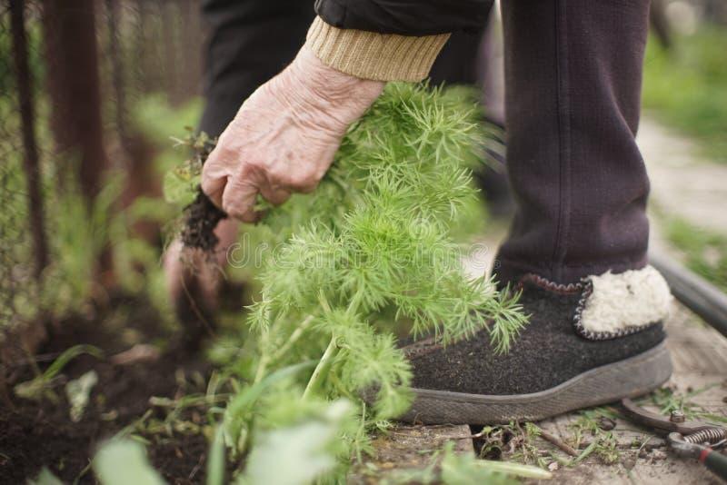 Le processus de tirer des mauvaises herbes d'herbe de la terre photos libres de droits
