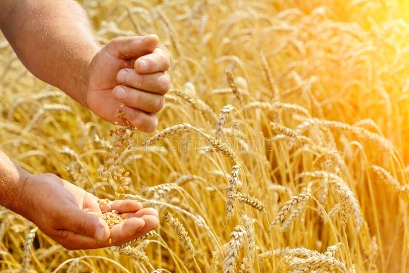 Le producteur sur un champ de blé vérifie la maturité du grain de blé Concept riche de récolte images stock