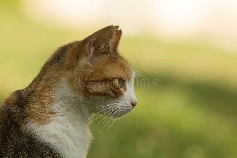 Le profil comprenant le cou, l'épaule et la tête d'un chat de calicot égaré gentil avec une oreille a mordu, regardant fixement l photo stock