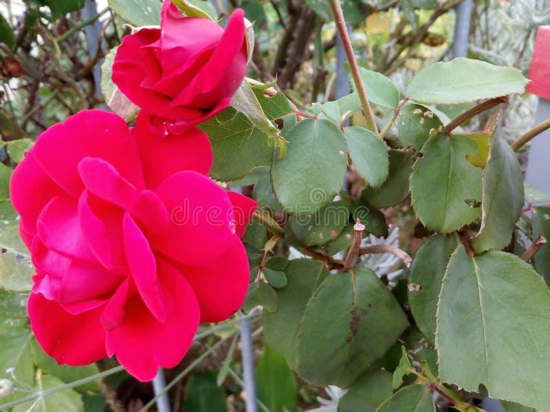 Le profil de deux beaux roses et verts roses part du côté droit ! Romantique ! photos stock