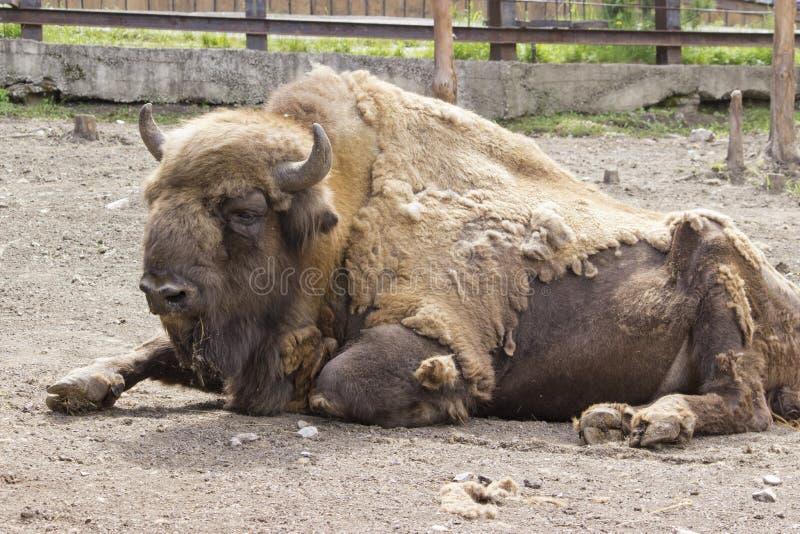 Le profil latéral de Bison Buffalo d'Américain photo stock