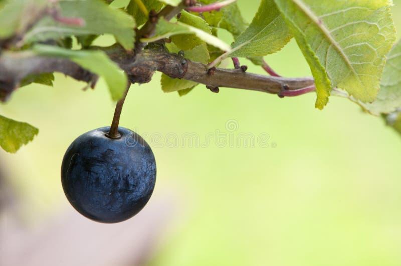 Le prunellier porte ses fruits en automne images stock