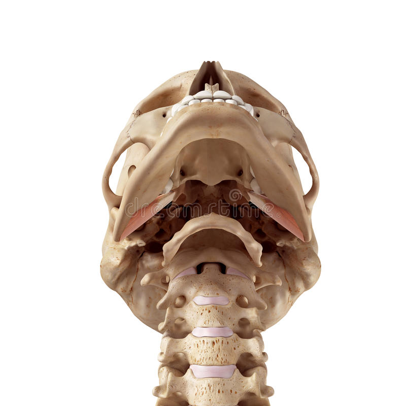 Le pterygoideus externe illustration de vecteur