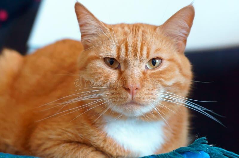 Le puits a maintenu le chat pelucheux propre, chat de maison de gingembre photographie stock