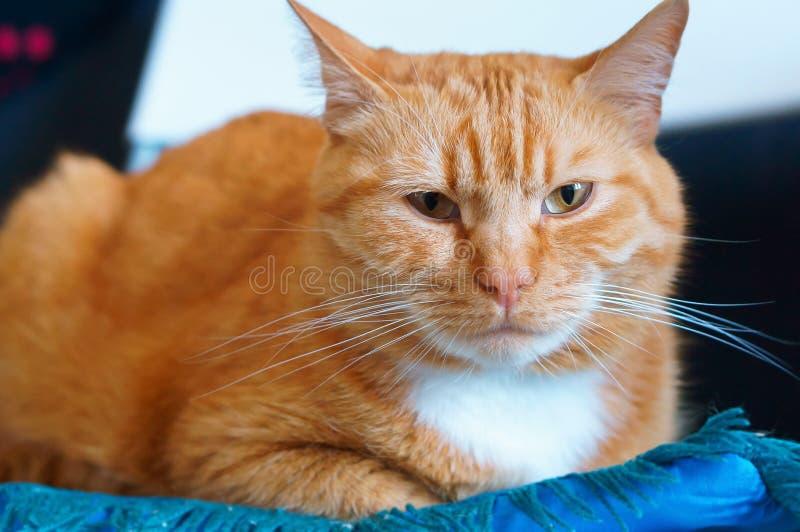 Le puits a maintenu le chat pelucheux propre, chat de maison de gingembre photographie stock libre de droits