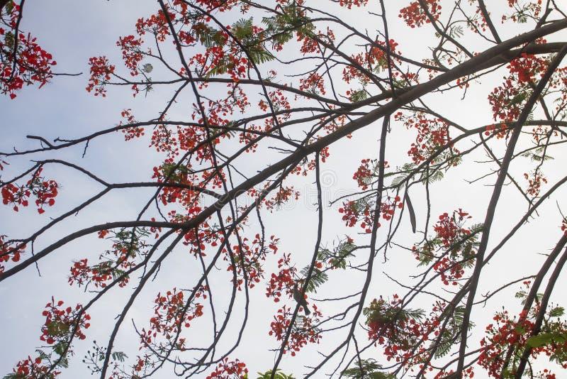 Le pulcherrima de Caesalpinia commencent à fleurir avril d'été chaque année photos stock