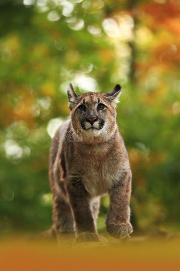 Le puma est le plus grand félin de l'Amérique du Nord photo libre de droits