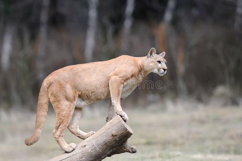 Le puma se tient sur un arbre photographie stock libre de droits