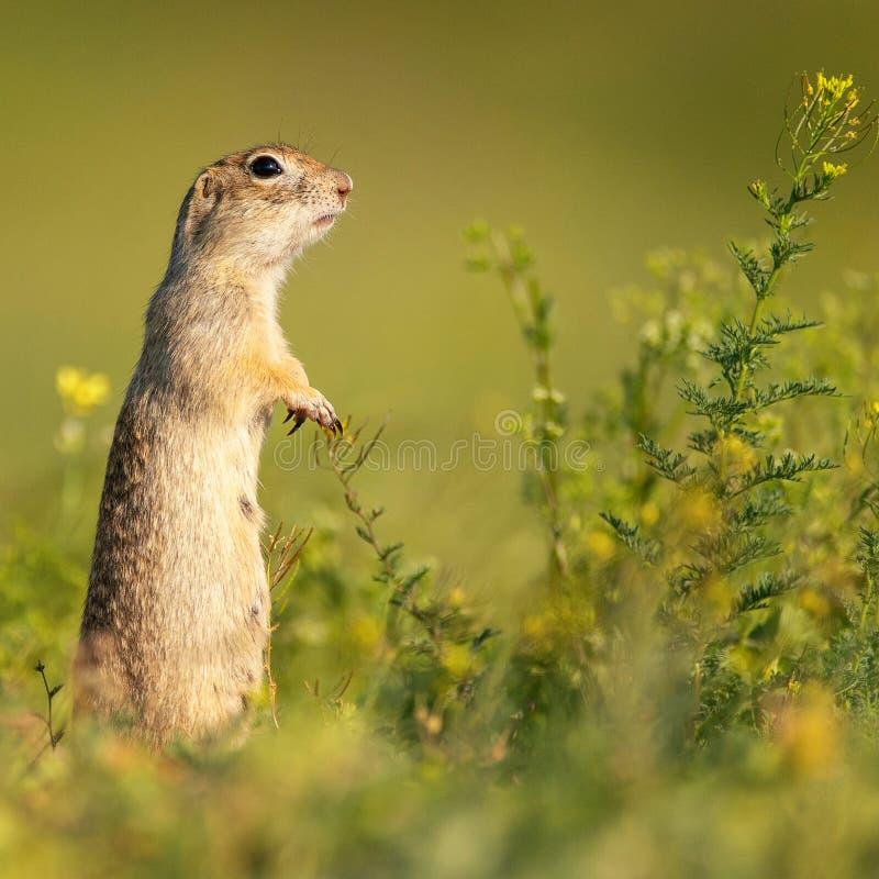 Le pygmaeus drôle de Spermophilus d'écureuil moulu se tient dans l'herbe et regarde l'appareil-photo Vue de côté photos libres de droits
