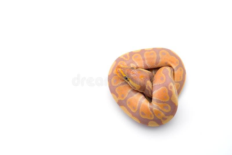 Le python royal d'isolement sur le fond blanc image stock