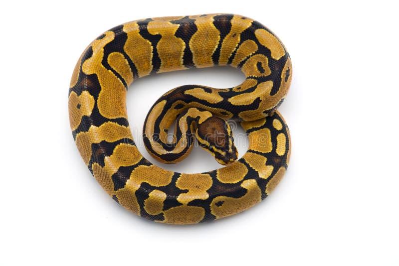 Le python royal d'isolement sur le fond blanc photos stock