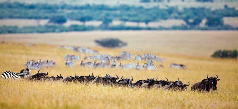 Le réseau du wildebeest et les zèbres sont executé au photographie stock libre de droits