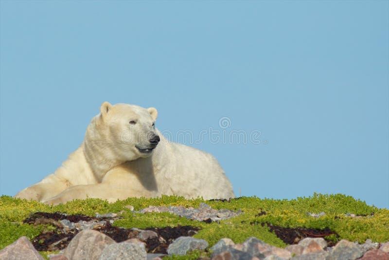 Le réveil polaire concernent l'herbe image libre de droits