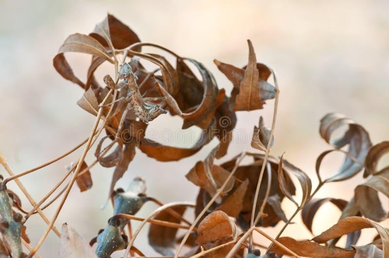 Le raclement d'Empusa est camouflé parmi les feuilles sèches photo stock