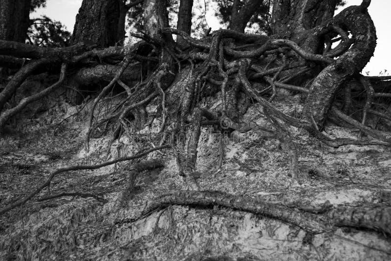 Le radici degli alberi fotografie stock