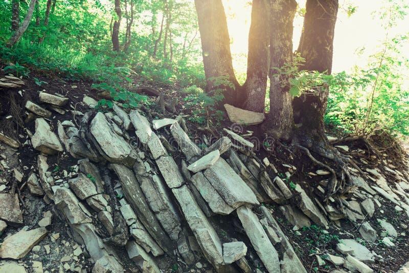 Le radici degli alberi hanno germogliato nella roccia e nelle pietre contro il contesto del sole luminoso immagine stock libera da diritti