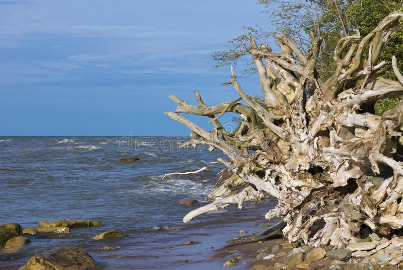 Le radici degli alberi sul Mar Baltico costeggiano fotografia stock
