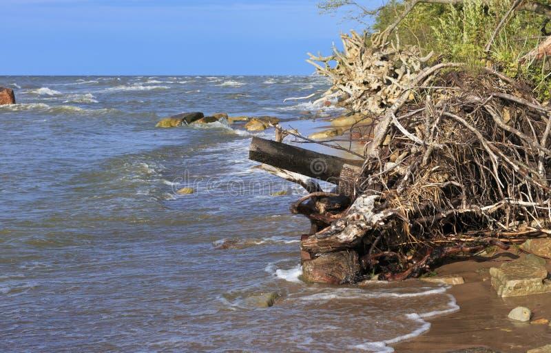 Le radici degli alberi sul Mar Baltico costeggiano immagini stock