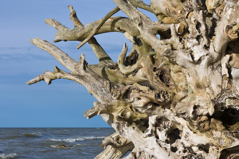 Le radici degli alberi sul Mar Baltico costeggiano fotografie stock