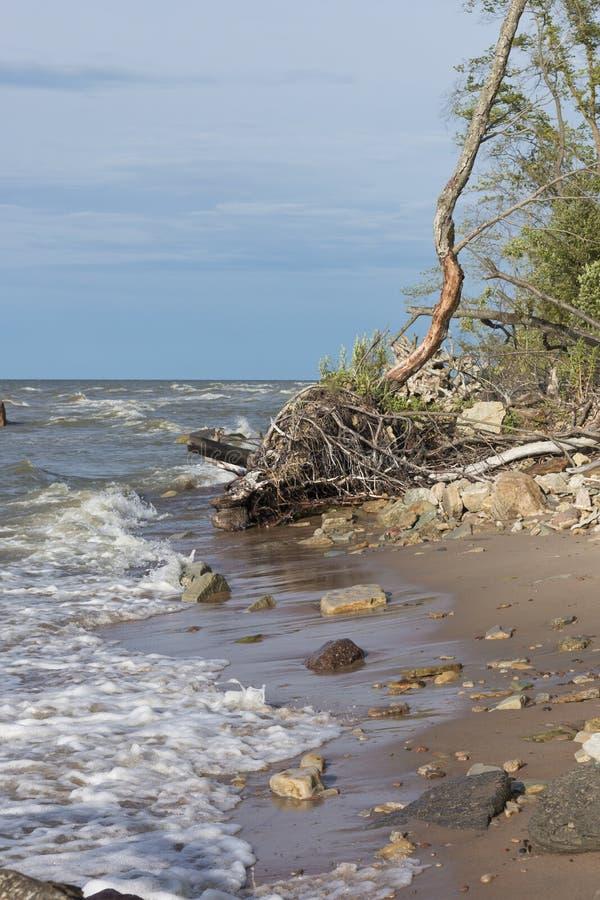 Le radici degli alberi sul Mar Baltico costeggiano fotografia stock libera da diritti