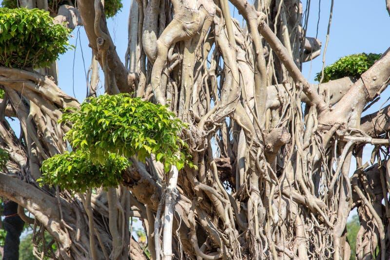 Le radici dell'albero di Bodhi si chiudono su Le radici dell'albero di banyan si chiudono su Radici del fondo dell'albero di bodh fotografie stock