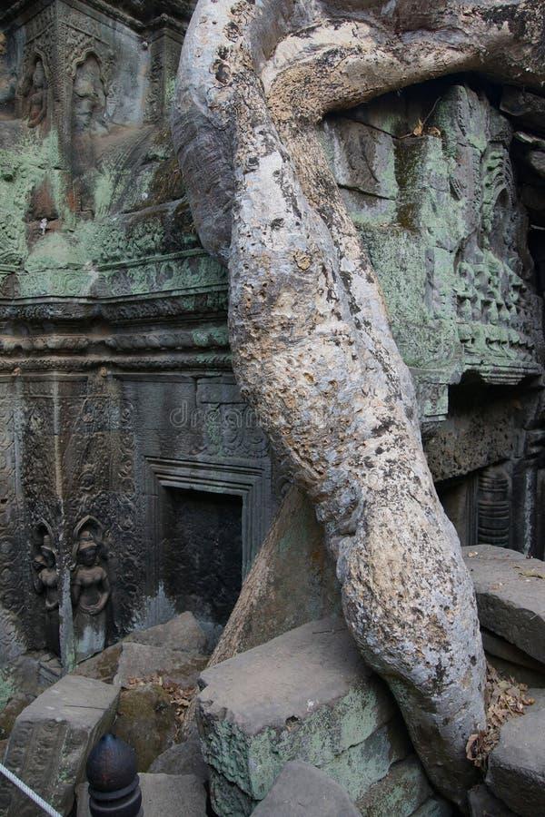 Download Le Radici Dell'albero Sopraffanno Il Tempio Antico Fotografia Stock - Immagine di cambodia, tempiale: 55350324