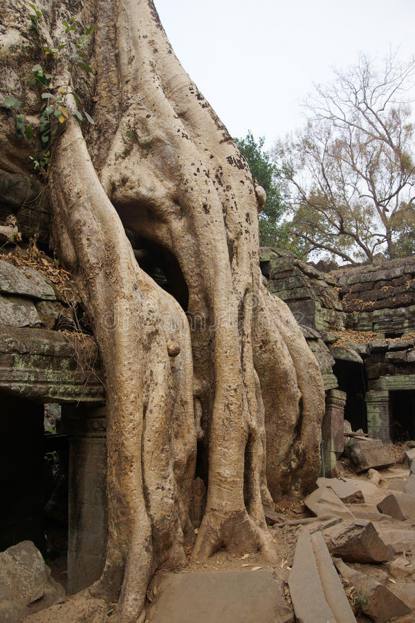 Download Le Radici Dell'albero Sopraffanno Il Tempio Antico Fotografia Stock - Immagine di parete, raccolga: 55350588