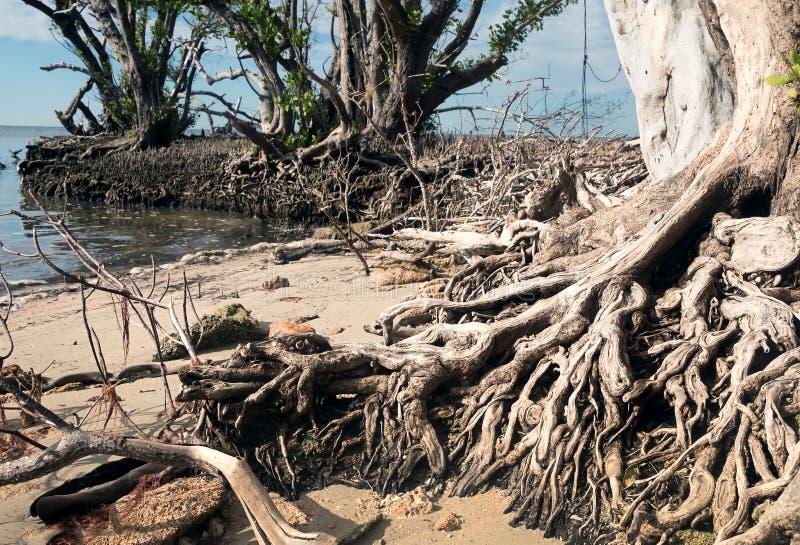 Le radici di vecchio albero della mangrovia nera fotografia stock