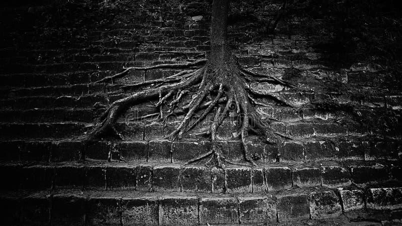 Le radici molto grandi dell'albero si sono sparse fuori sui provvedimenti concreti bella immagine torva trionfo di concetto della immagini stock