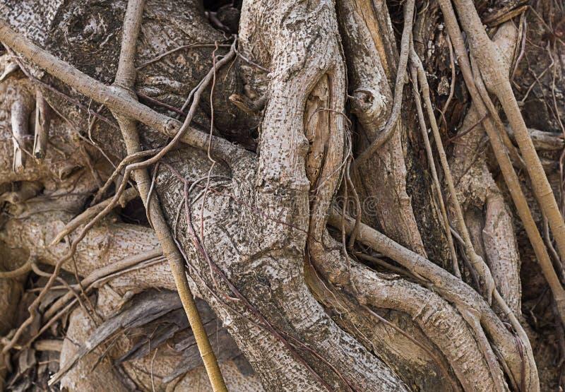 Le radici torte di vecchio fondo fantastico stagionato del tronco di albero strutturano la base fotografia stock