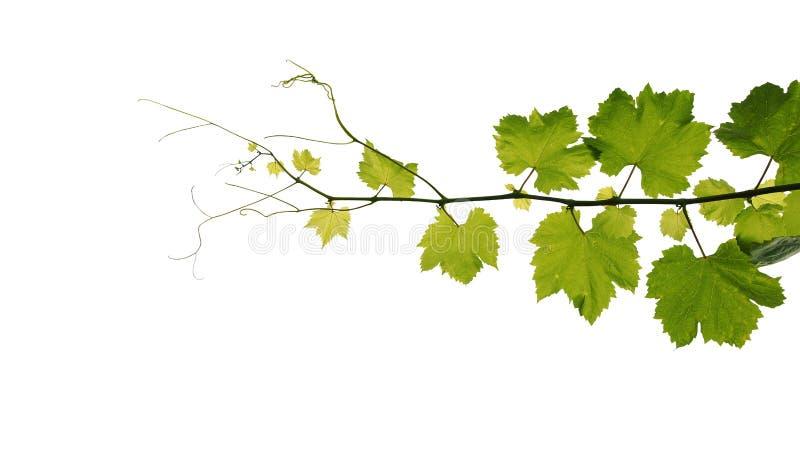 Le raisin laisse la branche de vigne avec des vrilles d'isolement sur le backgro blanc image stock