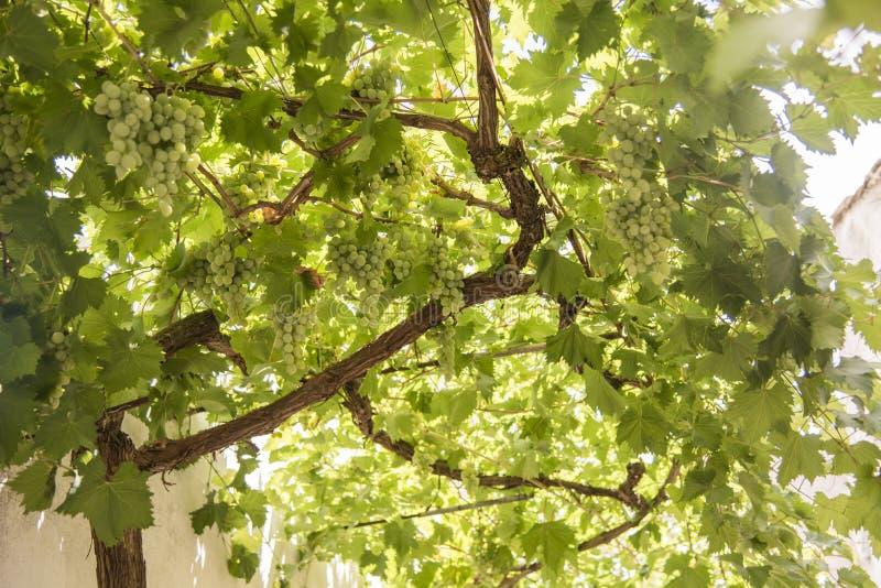 Le raisin lie prêt pour la récolte photo stock