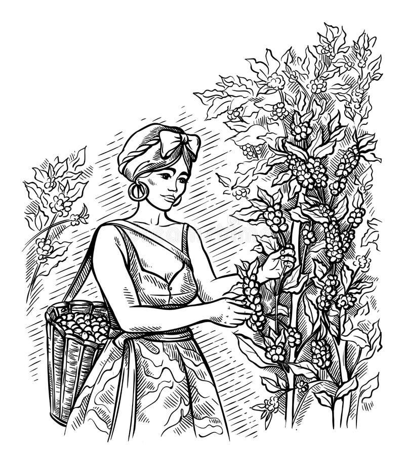 Le ramasseur de femme moissonne le café au paysage de plantation de café dans le vecteur tiré par la main de style graphique illustration libre de droits