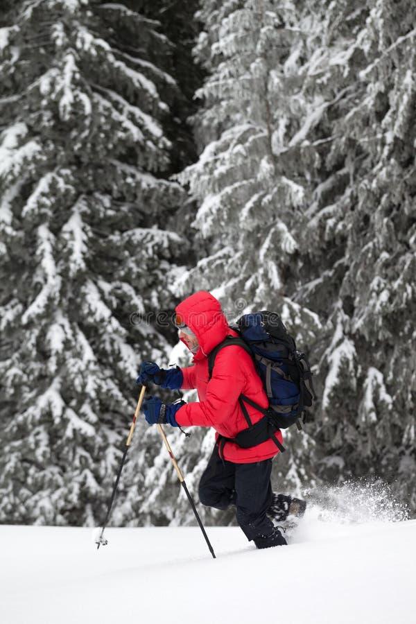 Le randonneur avec des poteaux de ski fait sa manière sur la pente neigeuse dans la forêt couverte de neige au jour d'hiver après photos libres de droits
