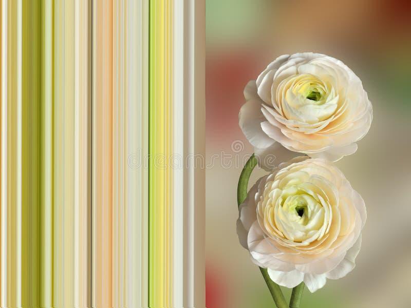 Le ranunculus deux pâle-rose sensible fleurit - la carte postale de ressort concentrée photo stock