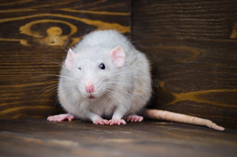 Le rat argenté dans la maison sur le parquet en bois foncé image libre de droits
