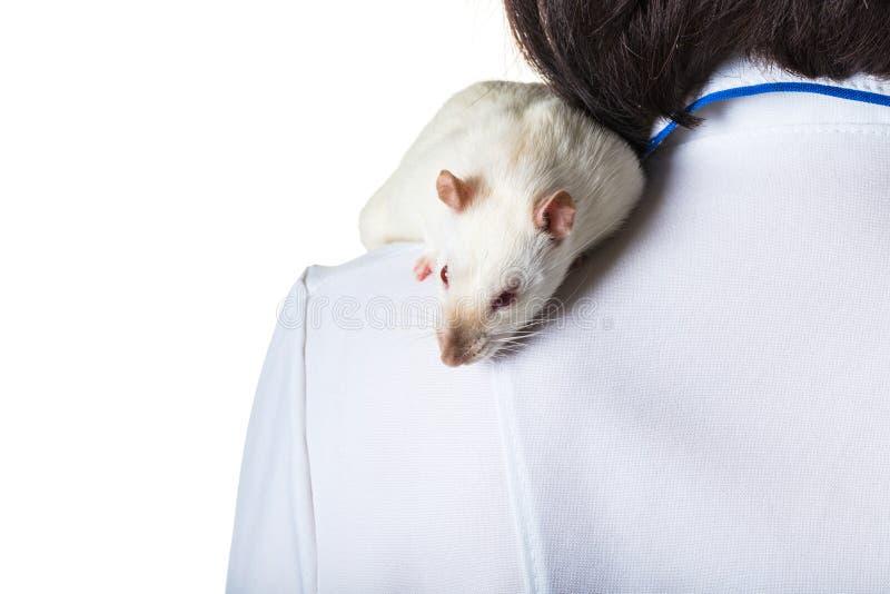 Le rat blanc se repose sur l'épaule photos stock
