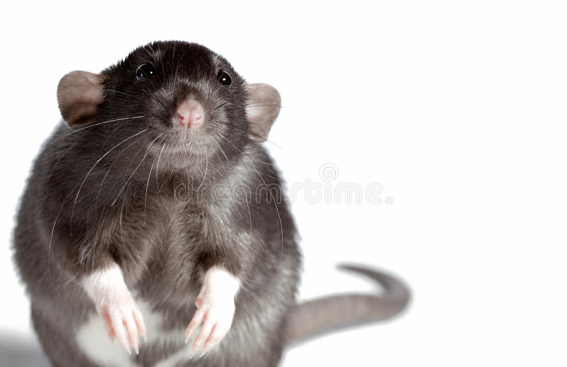 Le rat a boudé. photo stock