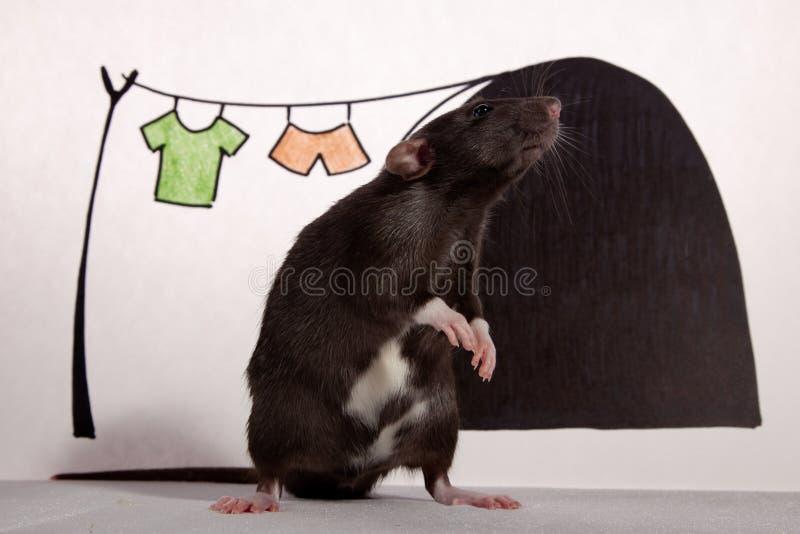Le rat dans la maison. photographie stock libre de droits