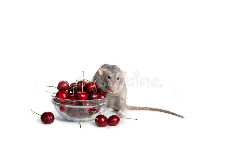 Le rat de charme de dambo sur un fond d'isolement blanc mange une merise Animal familier mignon Le symbole de 2020 An neuf chinoi image stock