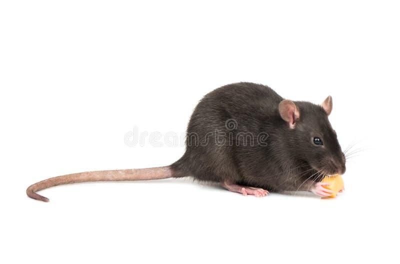 Le rat mange du fromage photo stock