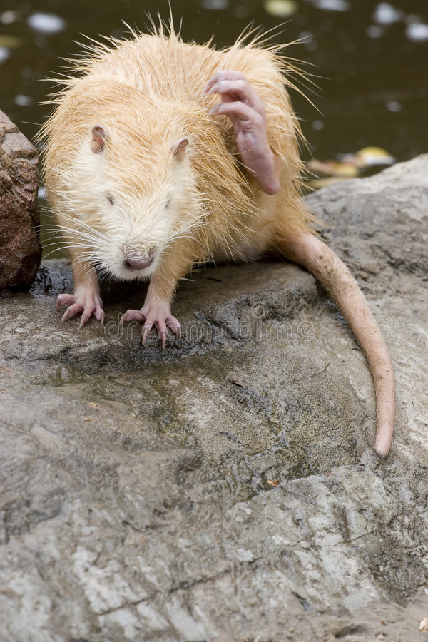 Le rat musqué photographie stock libre de droits