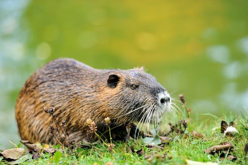Le rat musqué (zibethicus d'Ondatra) photographie stock