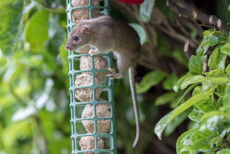 Le rat vole la nourriture de la mangeoire d'oiseaux de jardin Peste sauvage mignonne photo stock