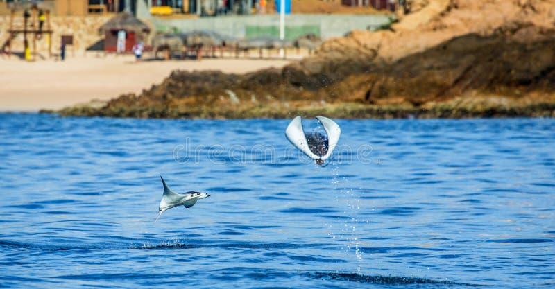 Le rayon de Mobula saute à l'arrière-plan de la plage de Cabo San Lucas mexico Mer de Cortez image stock